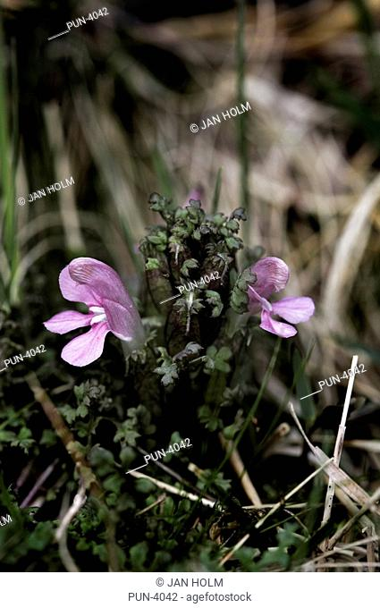 Lousewort Pedicularis sylvatica found growing on the shores of Loch Muick