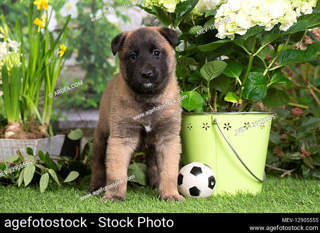 Belgian Shepherd puppy outdoors in the garden