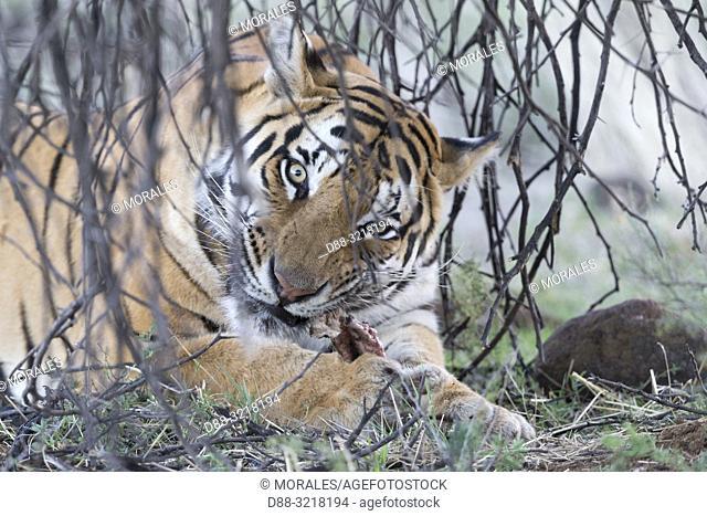 Afrique du Sud, Réserve privée, Tigre du Bengale (Panthera tigris tigris), mangeant / South Africa, Private reserve, Asian (Bengal) Tiger (Panthera tigris...