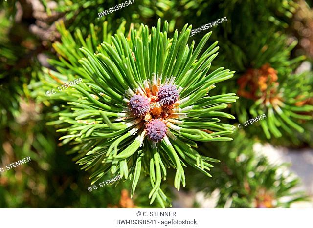 pine (Pinus spec.), young cones on a branch, Italy, South Tyrol