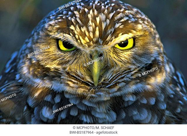 burrowing owl (Athene cunicularia), portrait, USA, Florida
