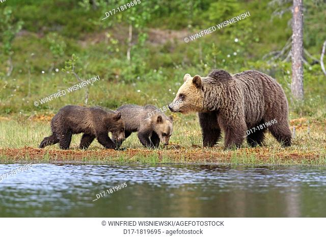 Female brown bear with two half-year old cubs