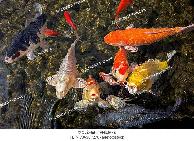 Colourful koi fish (Cyprinus rubrofuscus) surfacing and gasping for air in garden pond