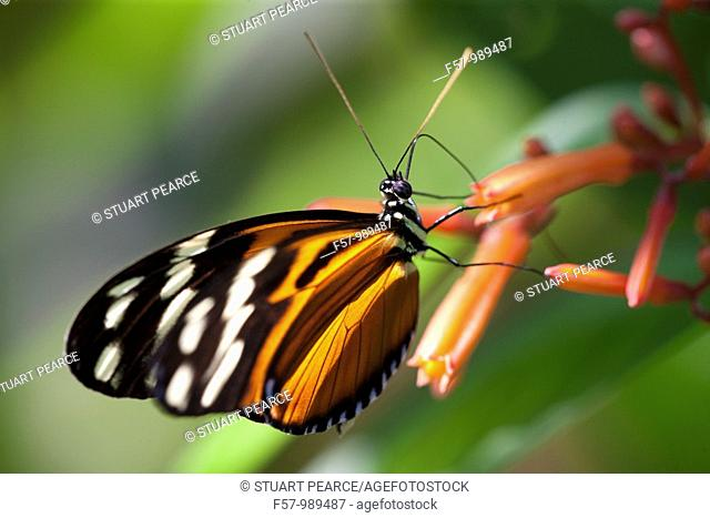 Monarch Butterfly at Hacienda Baru, Costa Rica