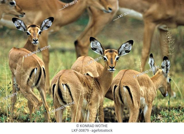 Impalas, Serengeti National Park, Tansania, East Africa