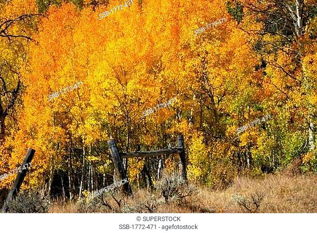 Aspen trees in autumn, Horse Creek, Dubois, Wyoming, USA