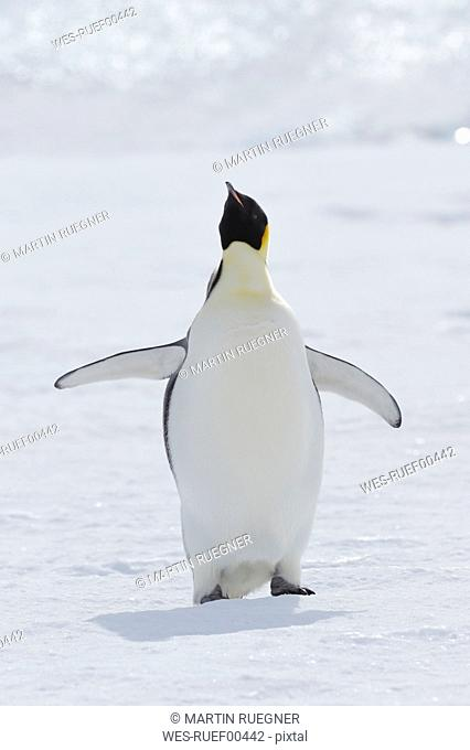 Antarctica, View of emperor penguin flapping its wings