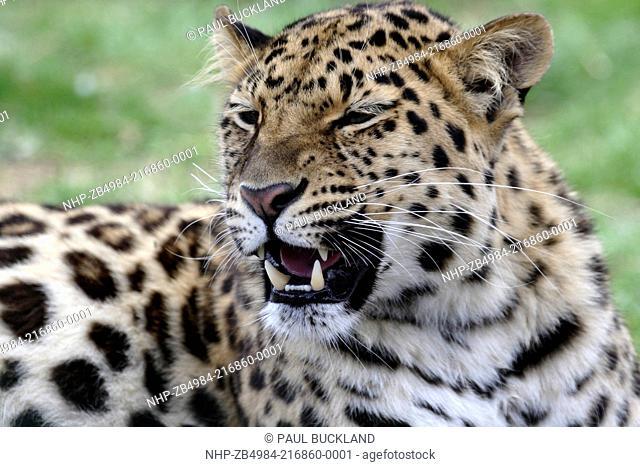 Amur Leopard Panthera pardus orientalis at the Wildlife Heritage Foundation, Smarden, Kent, UK