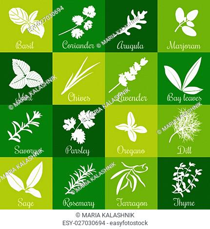 Herbs hand drawn vector squared icon big set. Popular culinary herbs. Basil, coriander, arugula, marjoram, mint, bay leaves, savory, rosemary