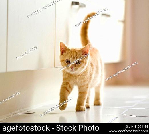 British Shorthair. Kitten walking in a kitchen