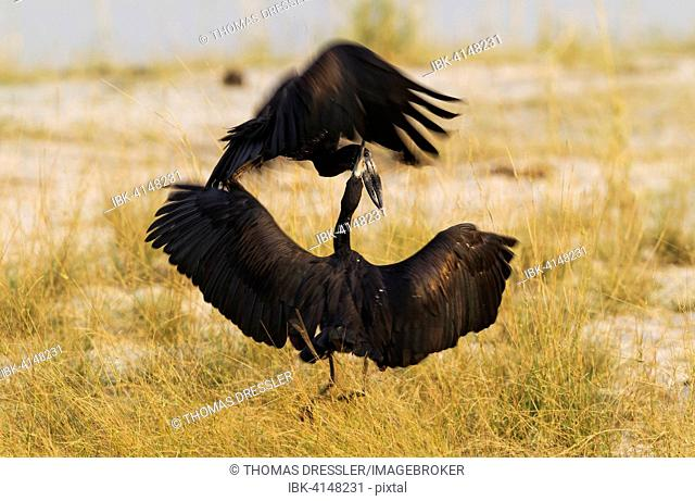 African Openbill or Openbilled Stork (Anastomus lamelligerus), fighting, Chobe National Park, Botswana