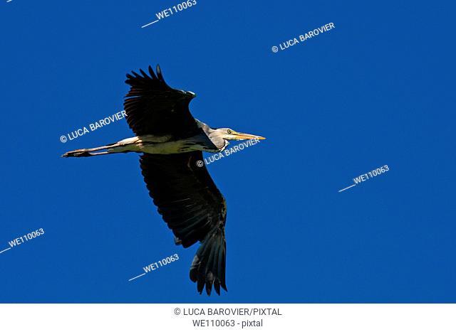 Ardea cinerea - A Gray Heron flying - Parco delle cave, Milan Italy
