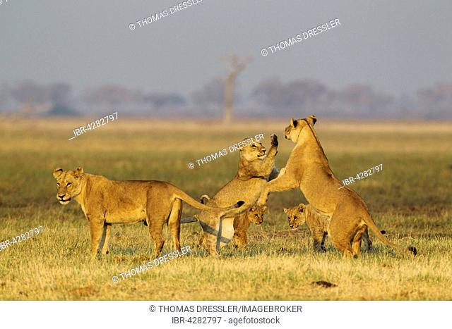 Lions (Panthera leo), three lionesses and two cubs, play, early morning, Savuti, Chobe National Park, Botswana