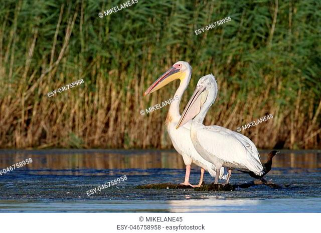 Great white-pelican, Pelecanus onocrotalus and Dalmation pelican, birds on water, Romania, July 2017