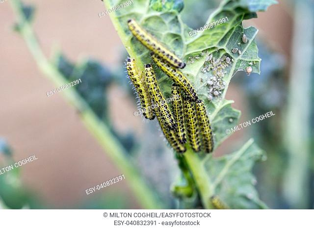 The caterpillar larvae of the cabbage white butterfly eating the leaves of a cabbage