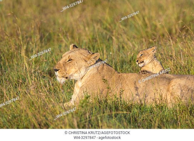 African Lion (Panthera leo) female with cub, Maasai Mara National Reserve, Kenya, Africa