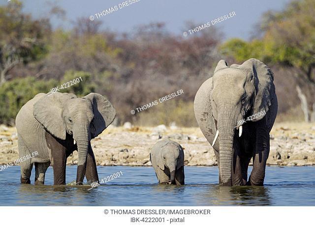 African elephant (Loxodonta africana) cow with two calves at waterhole, Etosha National Park, Namibia
