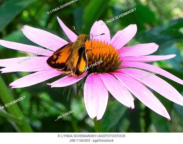 Taxiles Skipper Poanes taxiles butterfly on echinacea purpurea flower