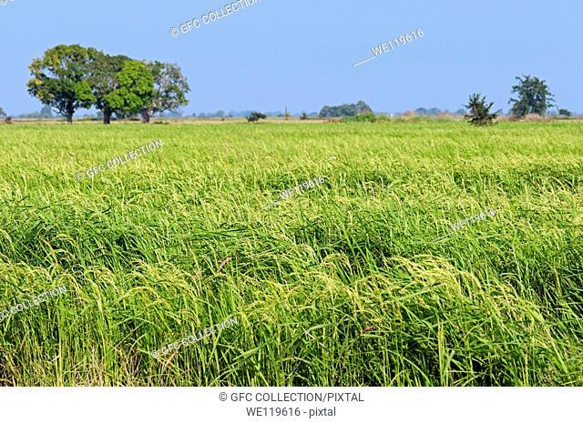 Field with rice crop Oryza sativa, Battambang, Cambodia
