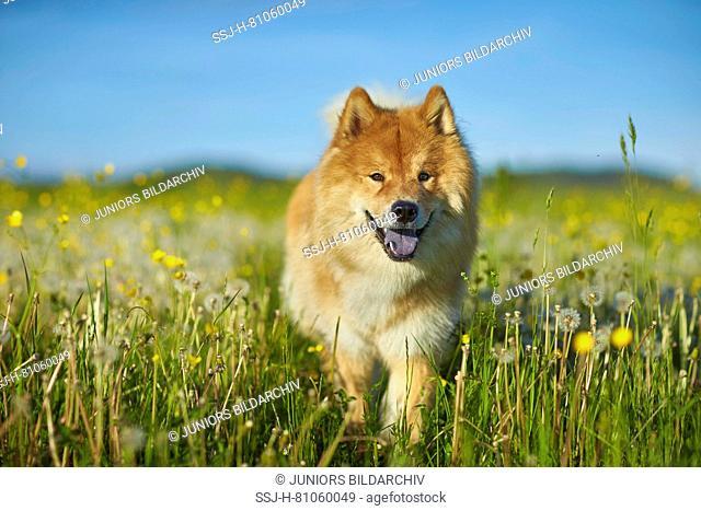 Eurasier, Eurasian. Adult dog walking in a meadow. Germany