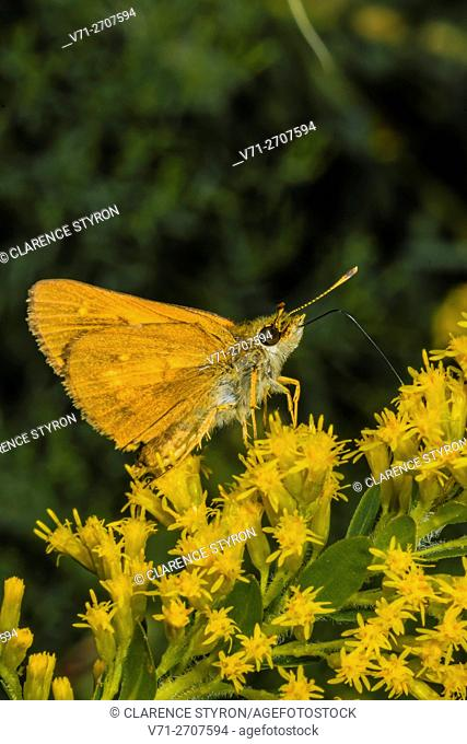 Broad-winged Skipper Butterfly (Poanes viator) Feedingg on Goldenrod (Solidago odora) Flowers Corolla, Currituck County, Outer Banks, North Carolina USA