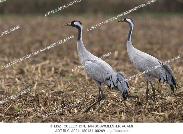 Common Crane perched in field, Common Crane, Grus grus