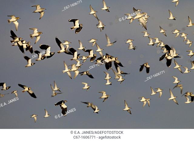 Black-tailed Godwits Limosa limosa in flight over marshes
