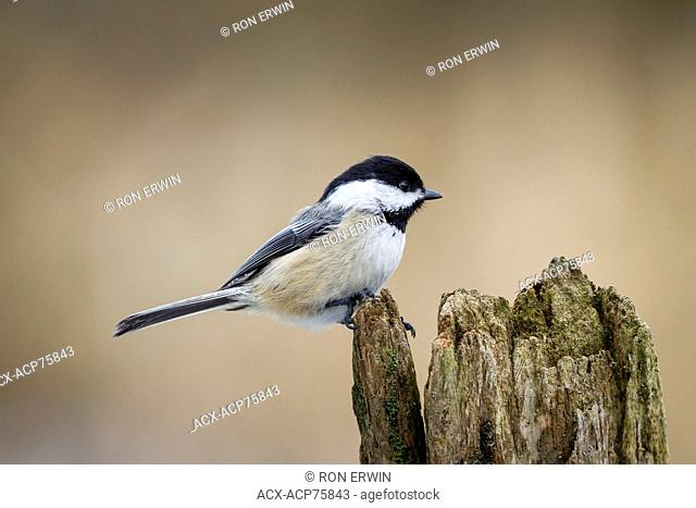 Black-capped Chickadee (Poecile atricapillus), Lynde Shores Conservation Area, Whitby, Ontario, Canada