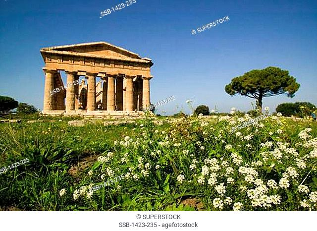 Wildflowers in a field with a temple in the background, Temple of Neptune, Paestum, Campania, Italy