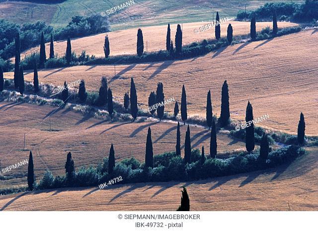 Tuscany cypress alley