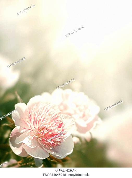 Soft focus image of pink and white peonies in sun light. Blooming pink and white peonies. Selective focus. Shallow depth of field