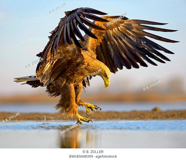 white-tailed sea eagle (Haliaeetus albicilla), landing in shallow water of a pond, side view, Hungary, Kiskunsag National Park