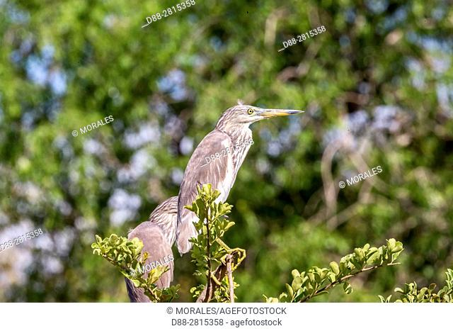 Sri Lanka, Yala national park, Indian pond heron (Ardeola grayii)