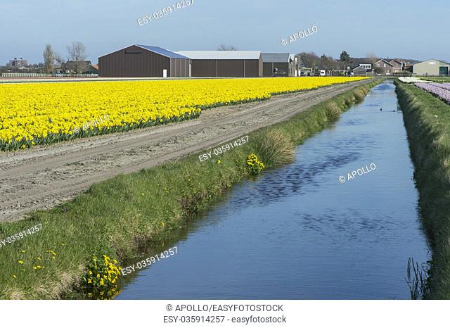 Blooming daffodil field in the area of Bollenstreek, known for the production of spring flower bulbs, Netherlands