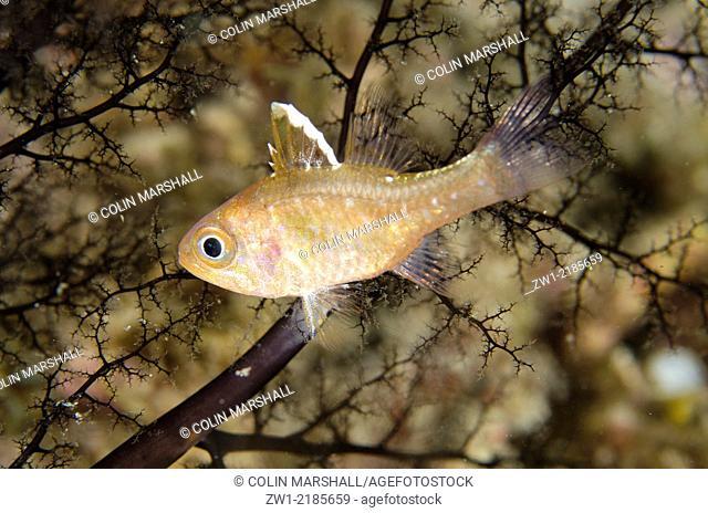 Frostfin Cardinalfish (Ostorhinchus hoevenii) in Basket Star, Wainilu dive site, Rinca Island, Komodo National Park, Indonesia