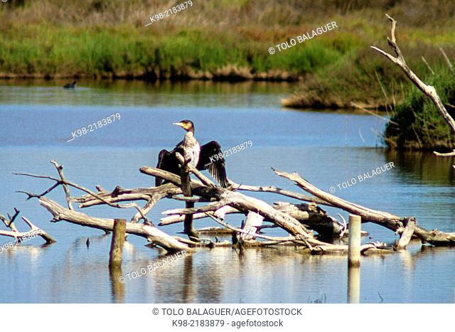 Great Cormorant (Phalacrocorax carbo), Es Cibollar, Albufera de Mallorca, Majorca, Balearic Islands, Spain