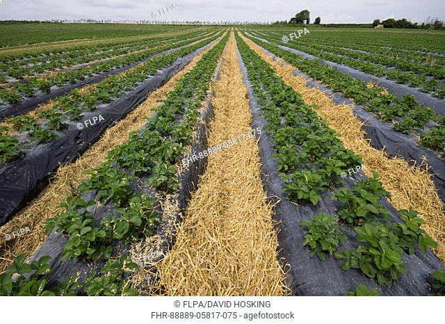 Strawberry Plants In Raised Bed Stock Photos And Images