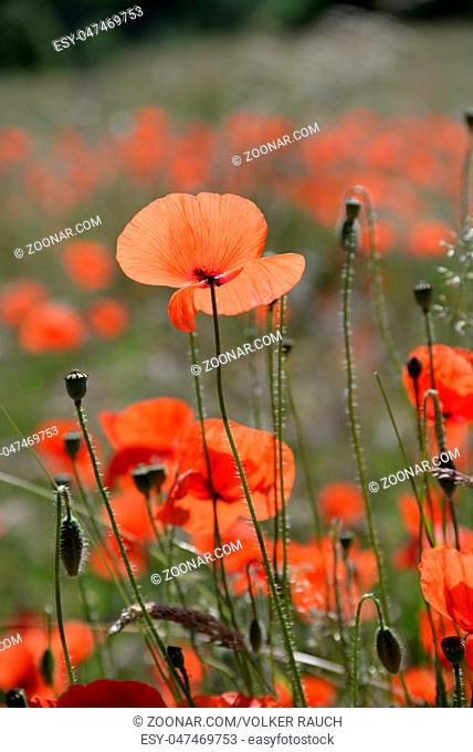 Mohn, klatschmohn, blume, blumen, blüte, blüten, rot,  natur, pflanze, pflanzen, sommer, papaver, mohnblüte, mohnblüten, wiese, gras, gräser, sommer, sommerlich