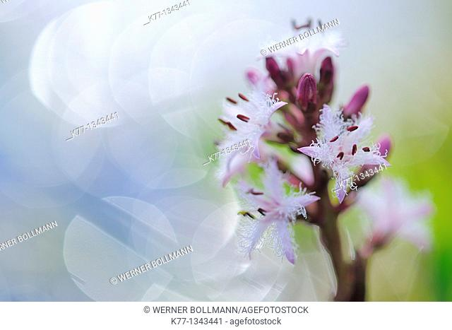 Bogbean/Water Trefoil (Menyanthes trifoliata), Norway
