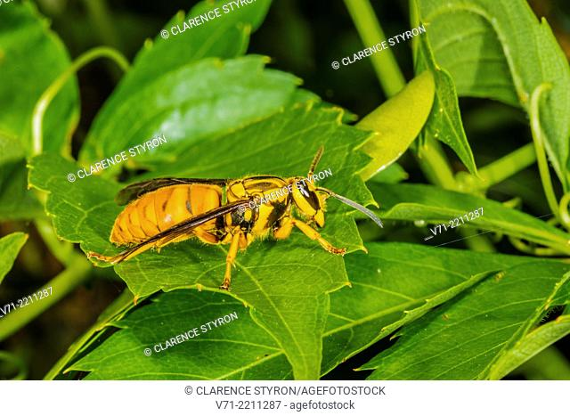 Southern Yellowjacket Vespula squamosa Queen on Virginia Creeper Parthenocissus quinquefolia