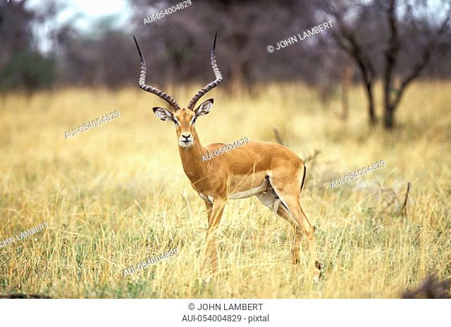 africa, tanzania, male impala