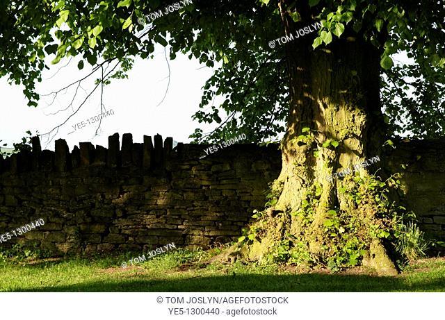 Lime tree Tilia genus in rural garden, Buckinghamshire, England, UK