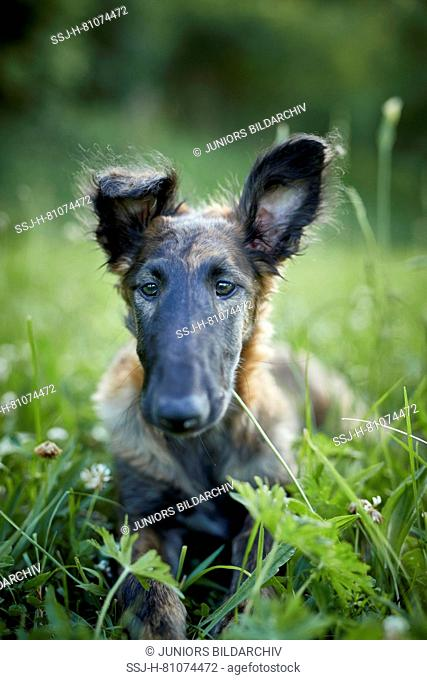 Barzoi, Russian Wolfhound. Juvenile lying a meadow. portrait. Germany