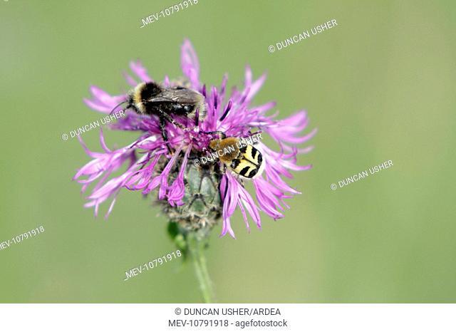 White-tailed Bumble Bee and Bee Beetle (Trichius fasciatus) - feeding on knapweed flower (Bombus lucorum)