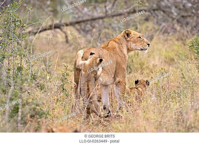 Two lion cubs Panthera leo harass mother, Timbavati Game Reserve, Mpumalanga Province, South Africa