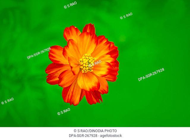 tagetes french marigold, visakhapatnam, andhra pradesh, India, Asia