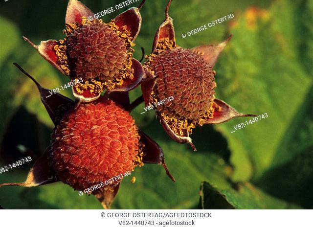 Thimbleberry, Gifford Pinchot National Forest, Washington, USA