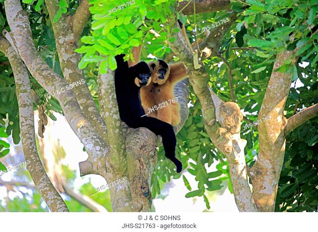 Yellow Cheeked Gibbon, golden-cheeked gibbon, yellow-cheeked crested gibbon, golden-cheeked crested gibbon, red-cheeked gibbon, (Nomascus gabriellae)