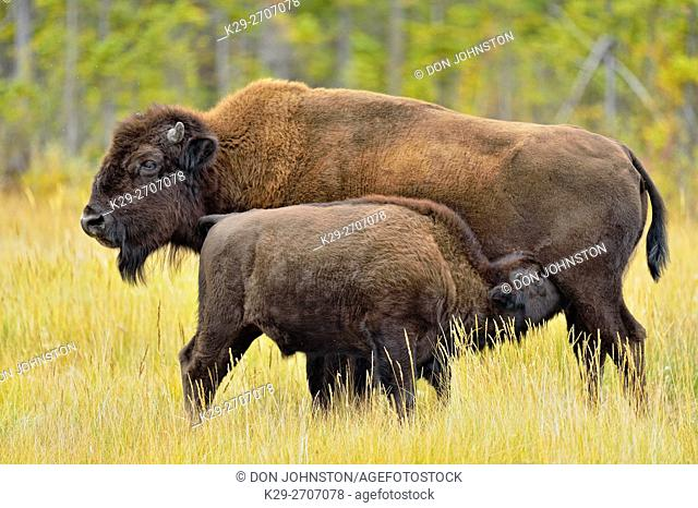 Wood Buffalo/Bison (Bison bison athabascae) Late-summer calf nursing with mother, Mackenzie Management Area, Northwest Territories, Canada