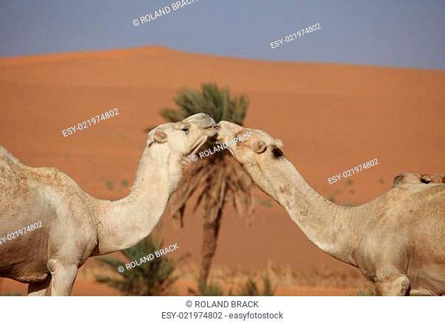 Kamele der Sahara